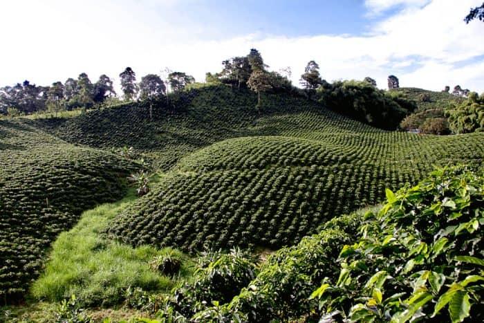 Кофейная ферма